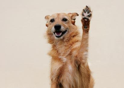 65818-411x292-Dog_raising_paw